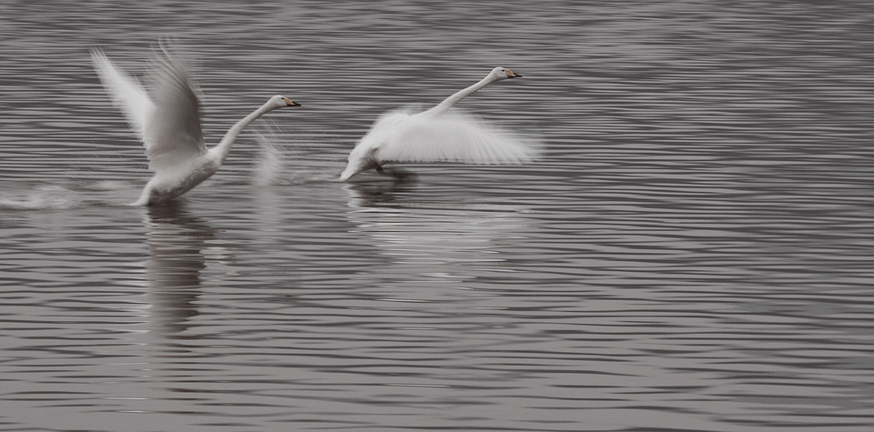 swan-1908289_960_720